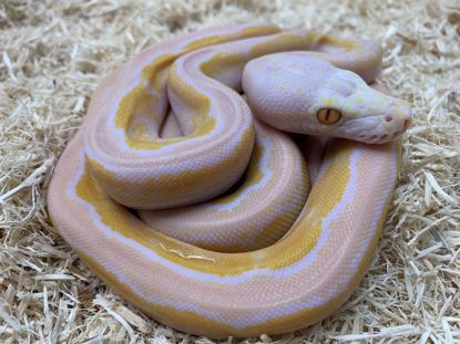 Picture of Dwarf Motley White Albino Reticulated Python
